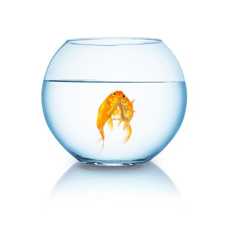 fishbowl: fishbowl with a kissing goldfish couple isolated on white background