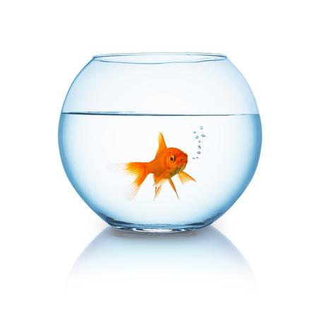 claustrophobia: fishbowl with a breathing goldfish isolated on white Stock Photo