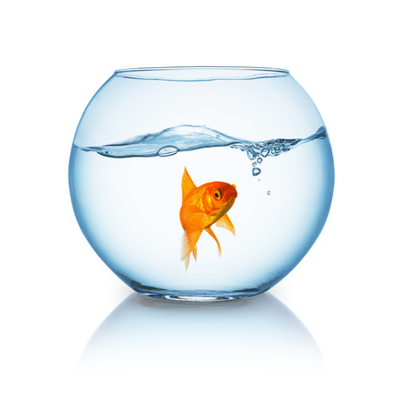 fishbowl: angry looking goldfish in a fishbowl isolated on white Stock Photo