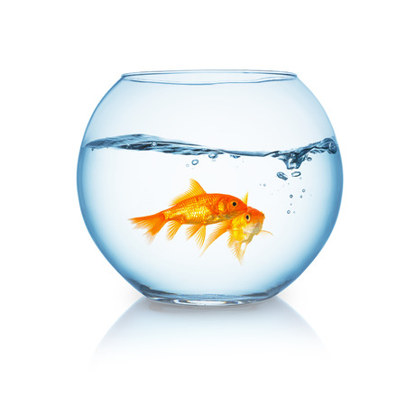 goldfishes: fishbowl with two friends of goldfishes in a wavy water on white background Stock Photo