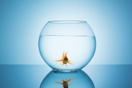 fishbowl: fishbowl with a goldfish on blue background Stock Photo