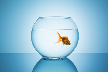 fish bowl: fishbowl with a goldfish that floats in water on blue background