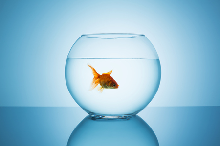 claustrophobia: goldfish swims in a fishbowl on blue background