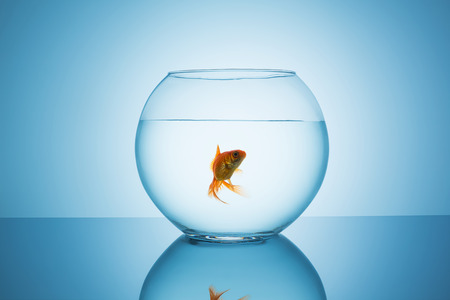 fish bowl: oldfish swims in a glass fishbowl on blue background