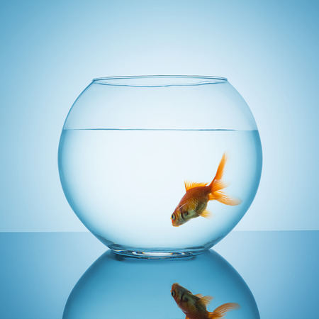 claustrophobia: fishbowl glass with swims goldfish on blue background