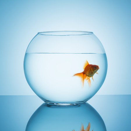 fishbowl: goldfish swims in a fishbowl glass on blue background Stock Photo
