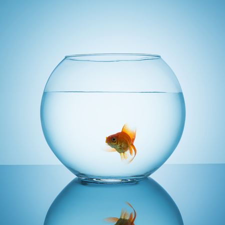 fishbowl: goldfish in a fishbowl glass looks interested on blue background Stock Photo