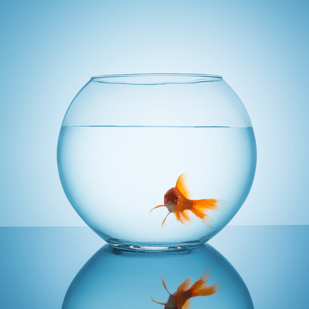 claustrophobia: fishbowl glass with a curious looking goldfish on blue background