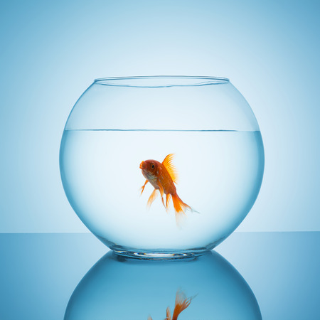 fishbowl: goldfish with a open mouth in a fishbowl glass on blue background