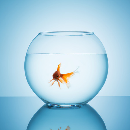 fishbowl: fishbowl with a interested looking goldfish on blue background
