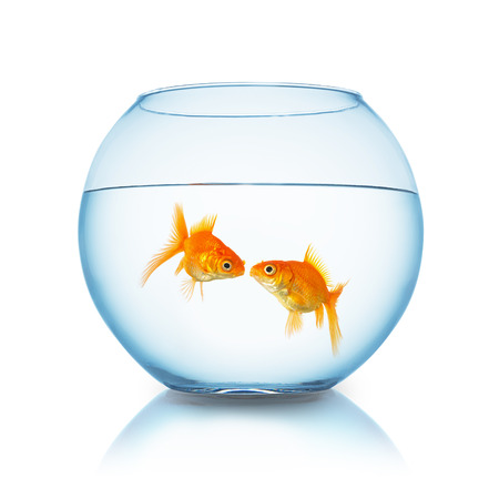 goldfishes: couple of goldfishes gives a kiss in a fishbowl isolated on white background Stock Photo