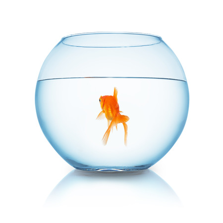 fishbowl: fishbowl with a goldfish from behind on white background