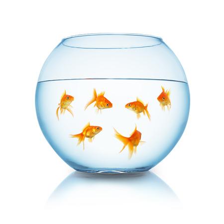 pez dorado: grupo de peces de colores en una pecera aislada en el fondo blanco