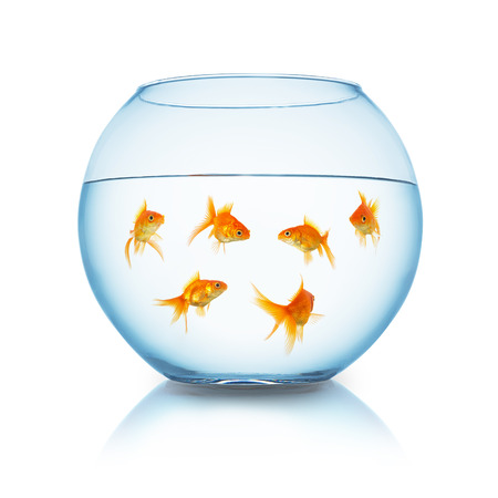 group of goldfishes in a fishbowl isolated on white background
