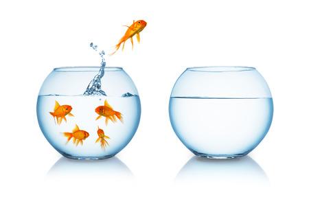 peces de acuario: goldfish salta a una pecera en la libertad aislada en el fondo blanco Foto de archivo