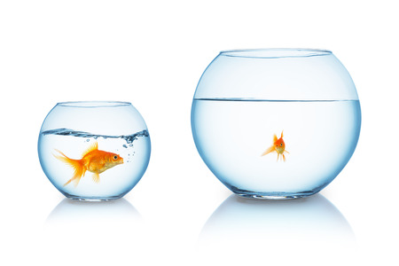big goldfish is being bullied in a fishbowl Stock Photo
