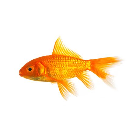 gold fish from the pet shop on white Stock Photo