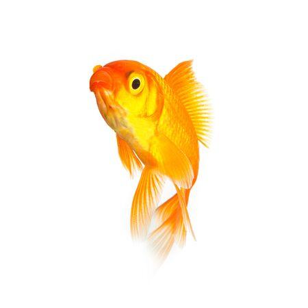 gold fish on white background photo