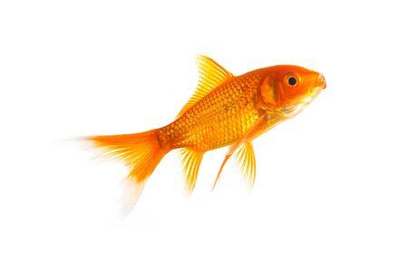 goldfish on white background photo