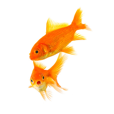 gills: couple of goldfishes in love are shocked isolated on white background Stock Photo