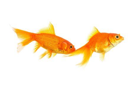 couple of two goldfishes isolated on white background photo