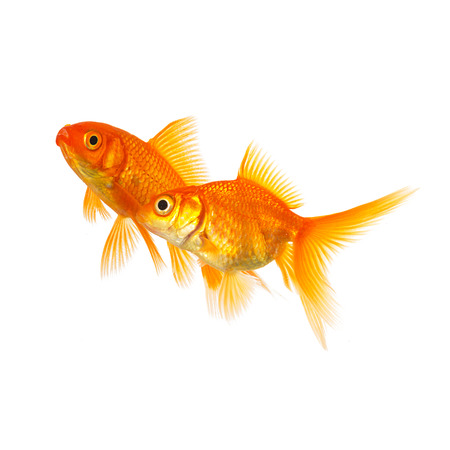 group of goldfishes isolated on white background photo