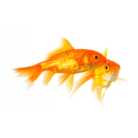 gills: group of goldfishes on white background