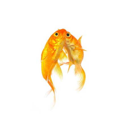 goldfishes: couple of two goldfishes are in love isolated on white
