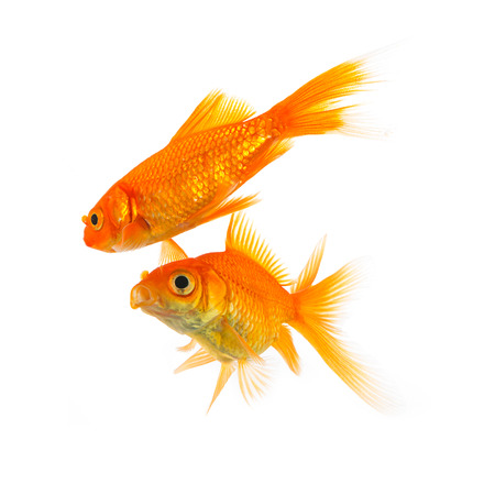 gills: couple of goldfish love isolated on white background
