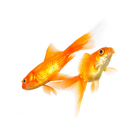 goldfishes: group of two goldfishes on white