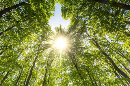 iluminado a contraluz: Evening sun shining through explosive treetop in a spring forest