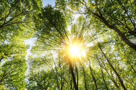 dramatically: Warm morning sun casting Dramatically intense rays through the treetop