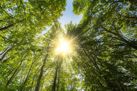 shining through: Evening sun shining through explosive treetop in a spring forest