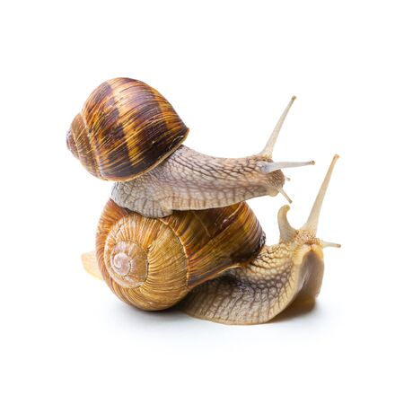piggyback: brown snail sitting on the other snail isolated on white