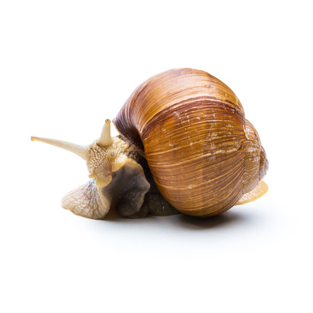 displacement: big brown snail is hiding in a shell isolated on white