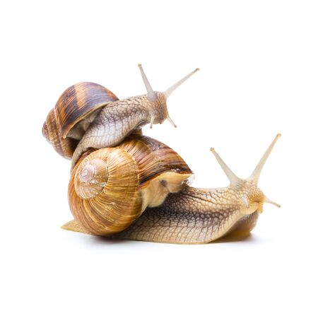 piggyback: Two snail are piggyback each other isolated on white