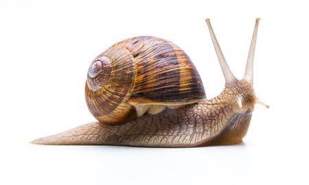 caracol: caracol de jardín (Helix aspersa) con la cáscara marrón aislado Foto de archivo
