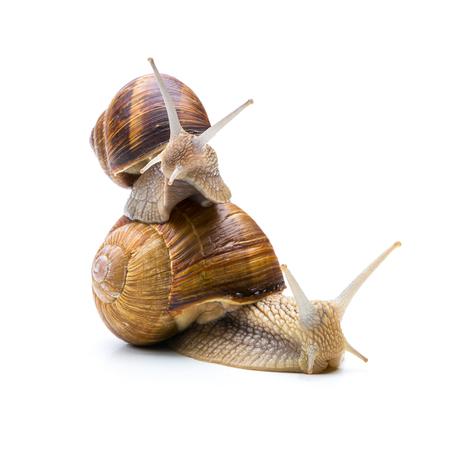 piggyback: snail piggyback each other isolated on white