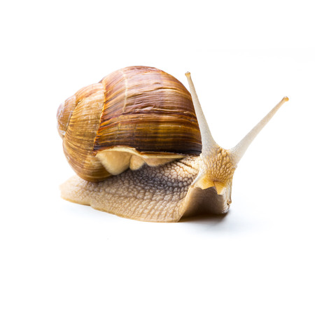 Big brown garden snail isolated on white background