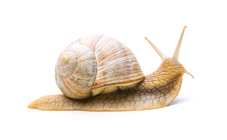 displacement: Single old snail looks back isolated on white Stock Photo