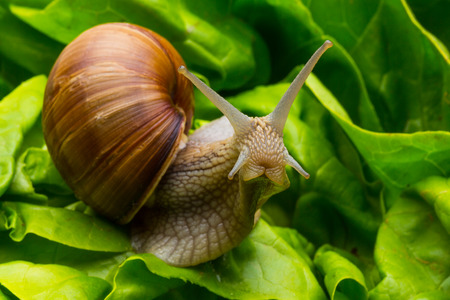 drooling: Big Roman snail in a salad