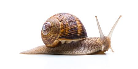 Big brown garden snail Foto de archivo