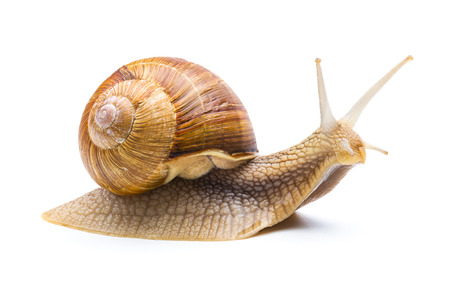 Garden snail isolated on white background 写真素材