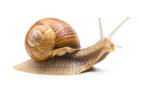 Garden snail isolated on white background Foto de archivo
