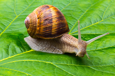 Roman snail on a green leaf
