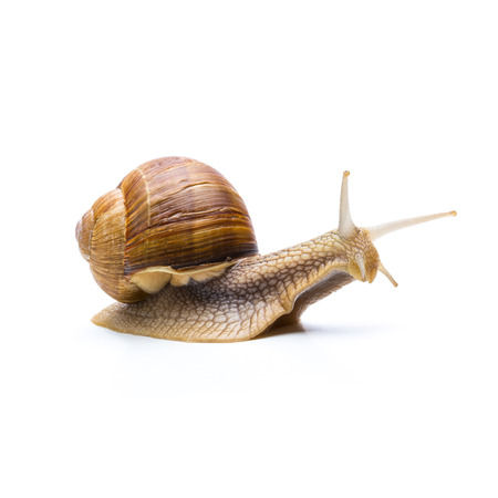 displacement: brown roman snail isolated on white background