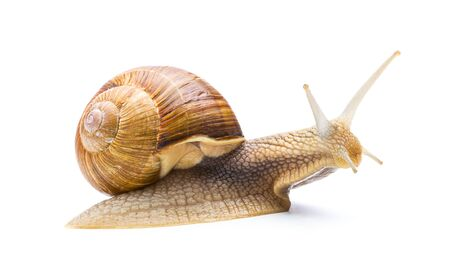 snail: Big Roman snail isolated on white