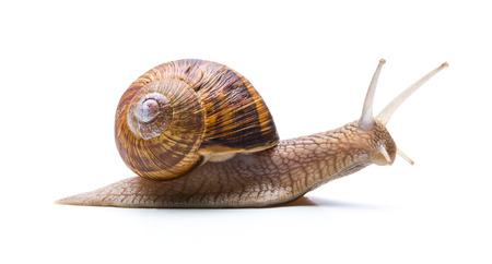 drooling: Big brown garden snail hikes away Stock Photo