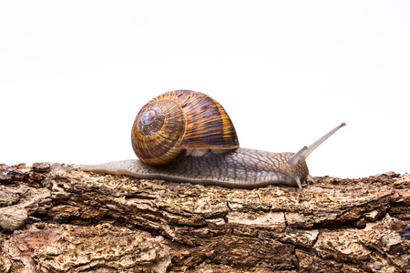 drooling: snail crawl on a wooden tree trunk isolated on white Stock Photo