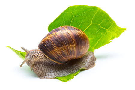 Big snail eating a salad leaf